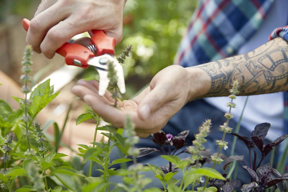 Close up tattooed man pruning plants with pruning shears in garden
