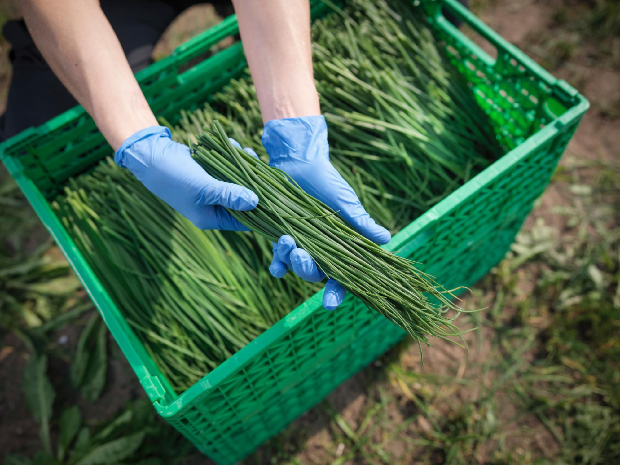 Chives Growth Storage And Usage
