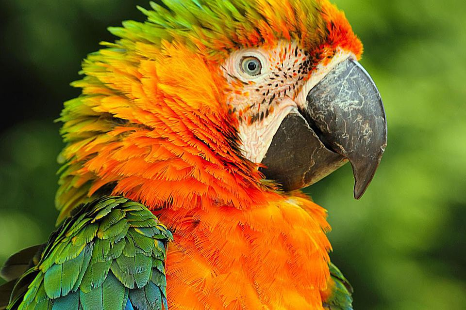 The Catalina Macaw is a hybrid macaw produced by crossing a Scarlet Macaw (Ara macao) and a Blue and Gold Macaw (Ara ararauna) and is a hybrid that naturally occurs in the wild.
