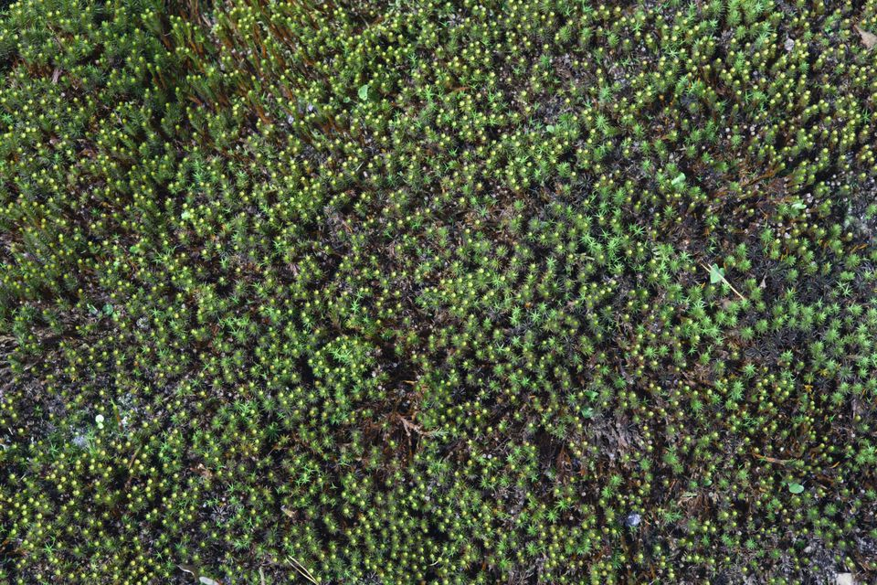 Moss ground cover