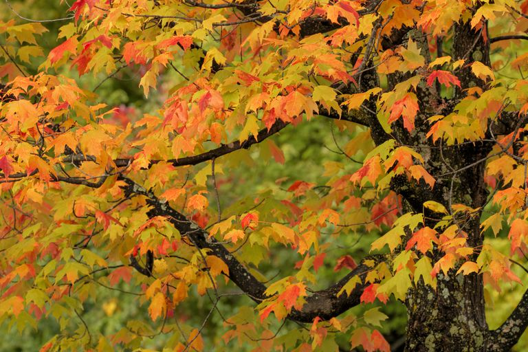 Close-up of maple tree with fall color, Hiawatha National Forest, Upper Peninsula, Michigan, USA