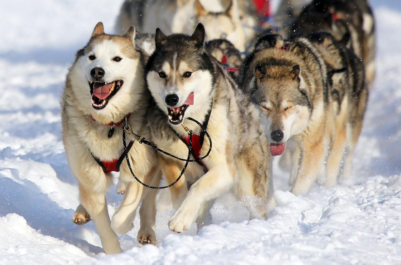 Iditarod Dog Food