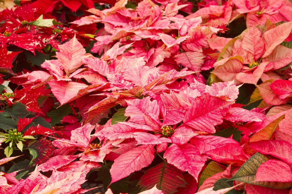 Group of poinsettias with marbled flowers.