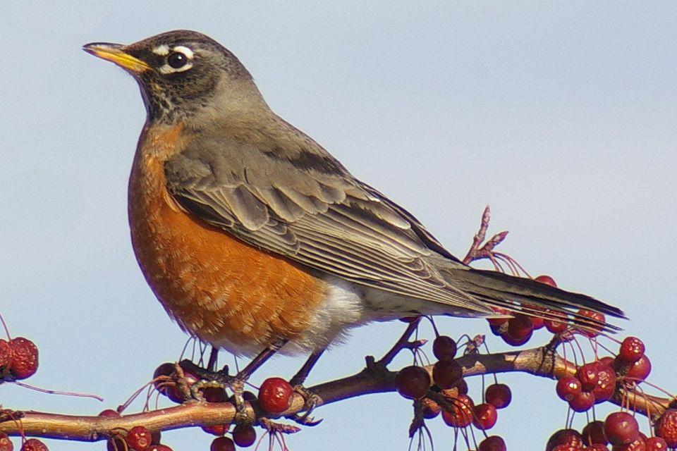 Most Common Backyard Birds in the U.S.