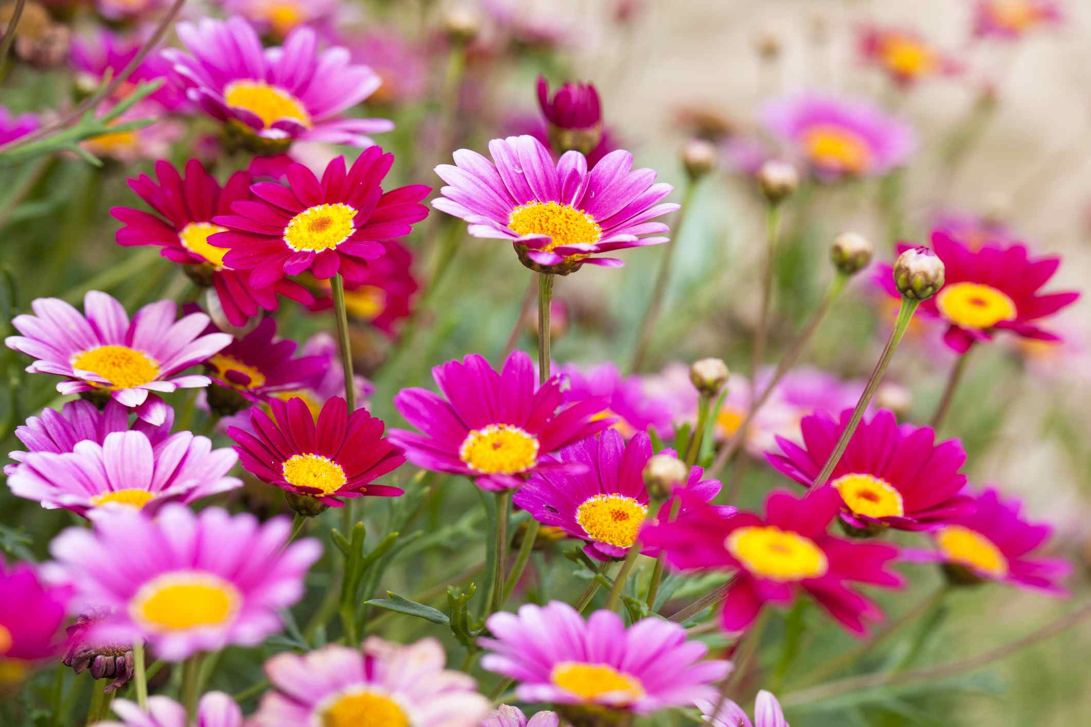 Selecting the right daisies for your flower garden izmirmasajfo Gallery