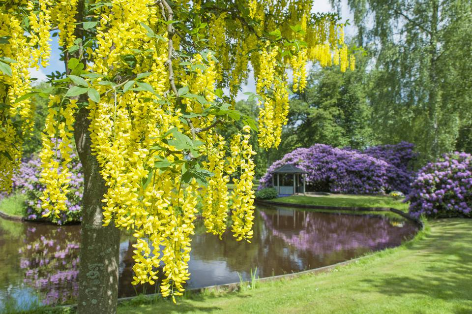 Golden chain tree with pond and rhododendrons in background.