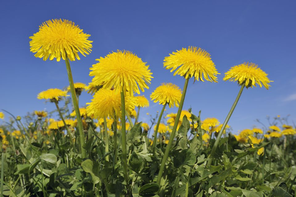 Dandelion (Taraxacum officinale) meadow