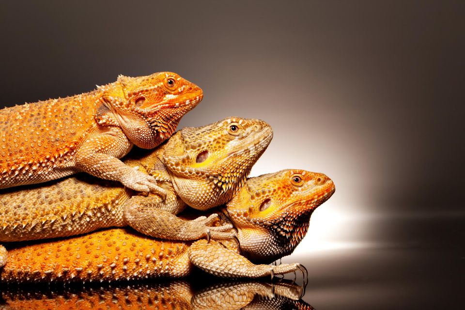 Three bearded dragons sitting on top of each other