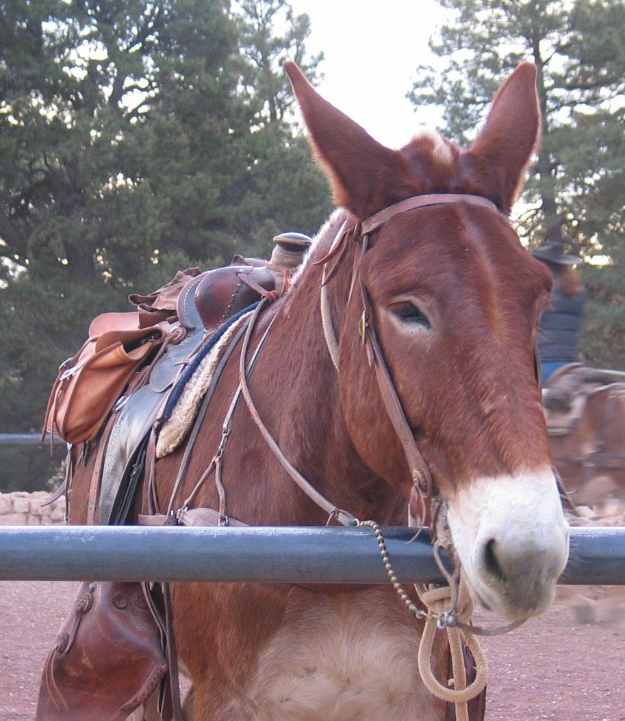 Grand Canyon Mule