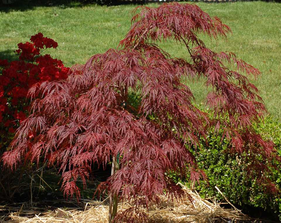 As my picture shows, Crimson Queen has a cascading habit. It's a type of Japanese maple.