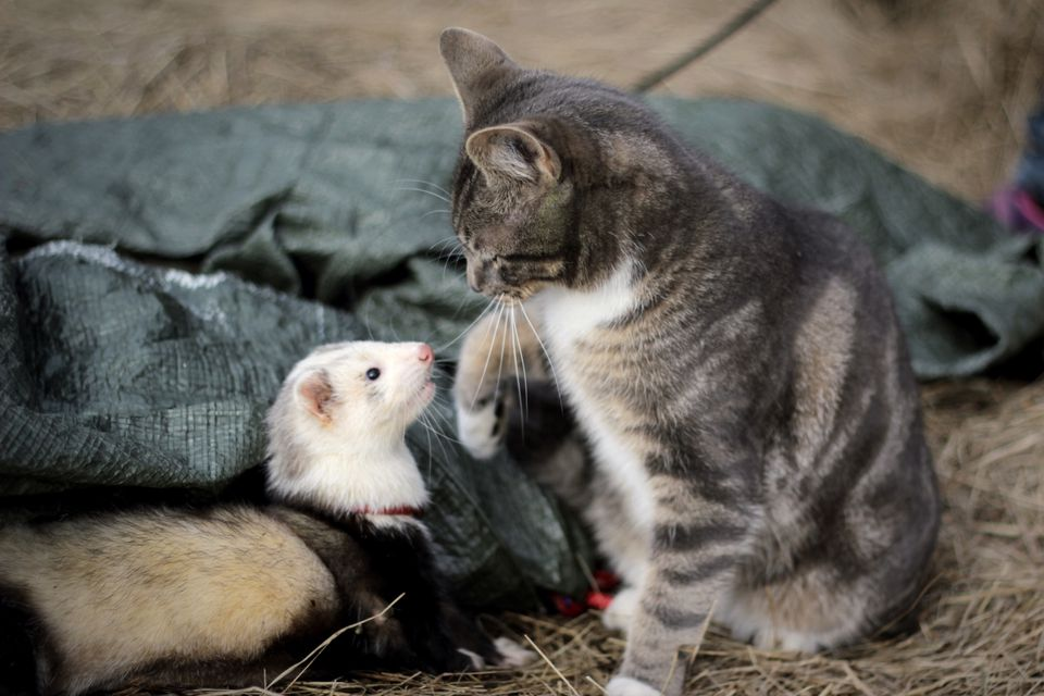 Will My Dog Get Along With A Ferrets