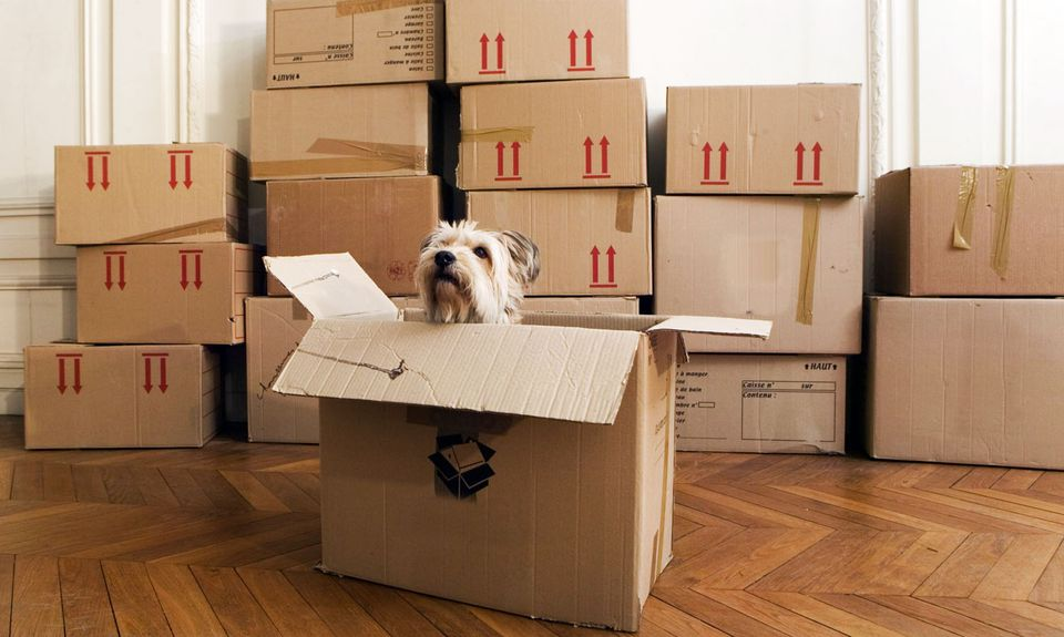 Dog looking out of a moving box with packed boxes