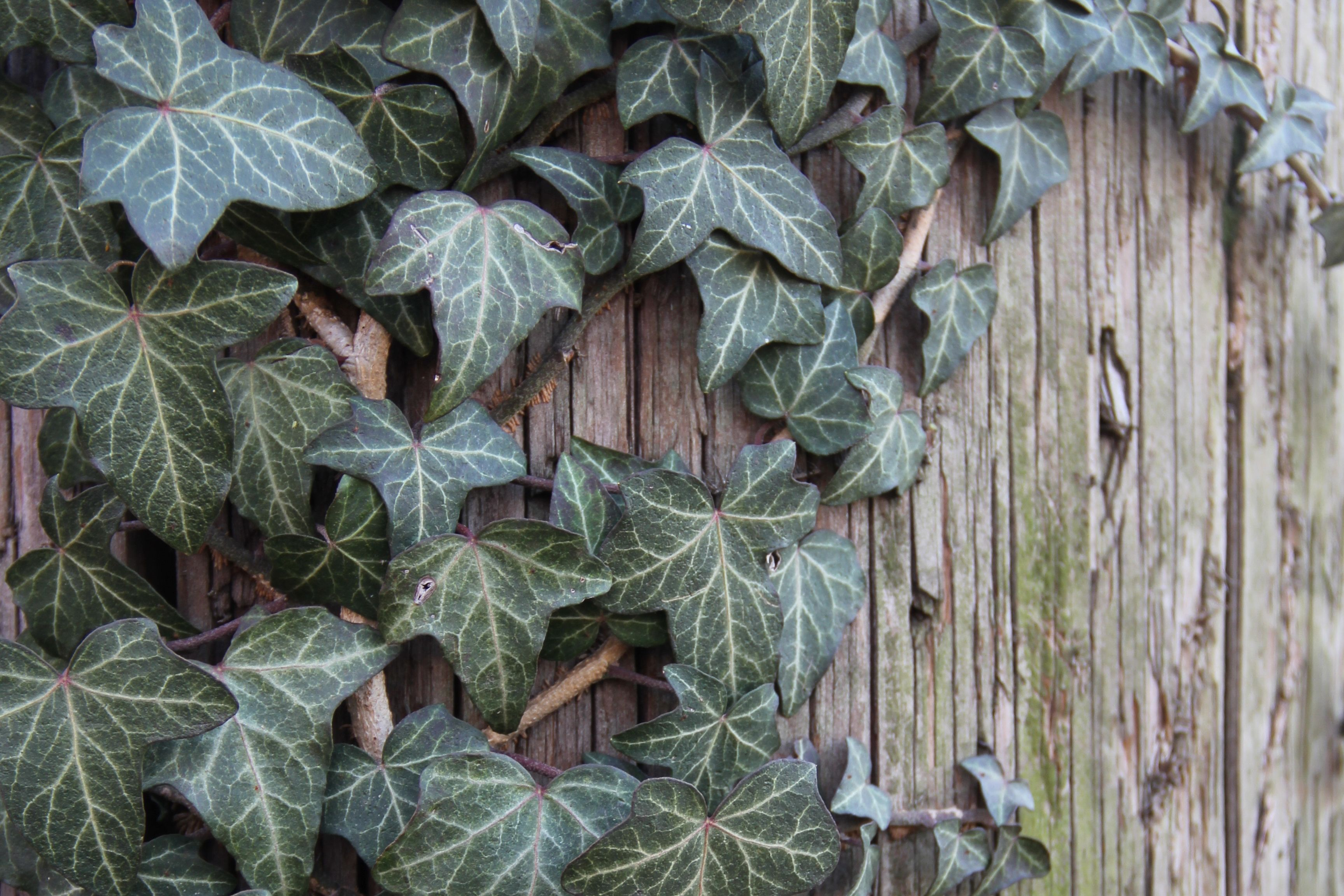 Climbing vines for walls - A Complete Guide To Growing English Ivy