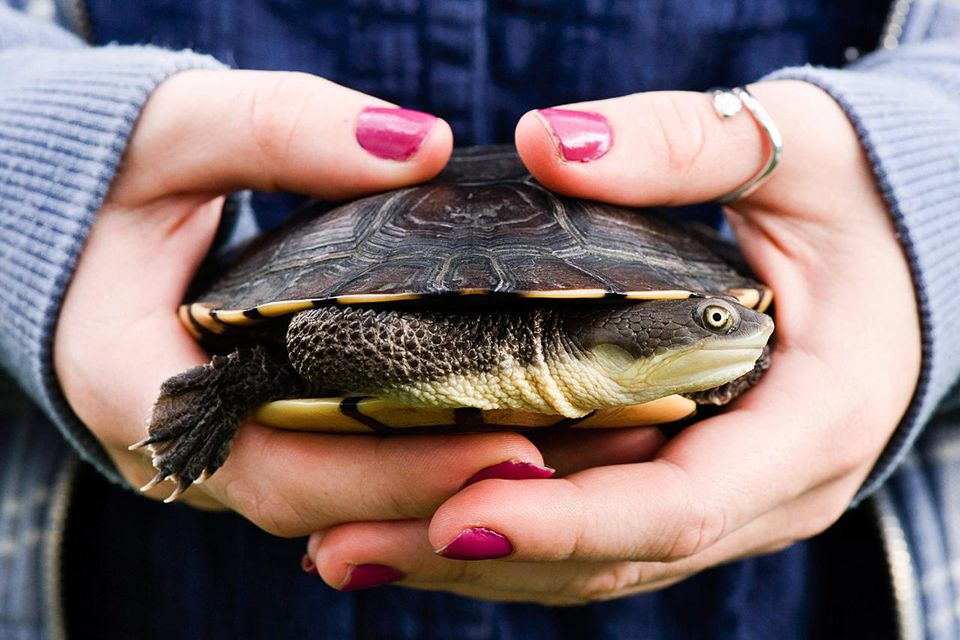 Pet Eastern Long-Necked turtle in young woman's hands.