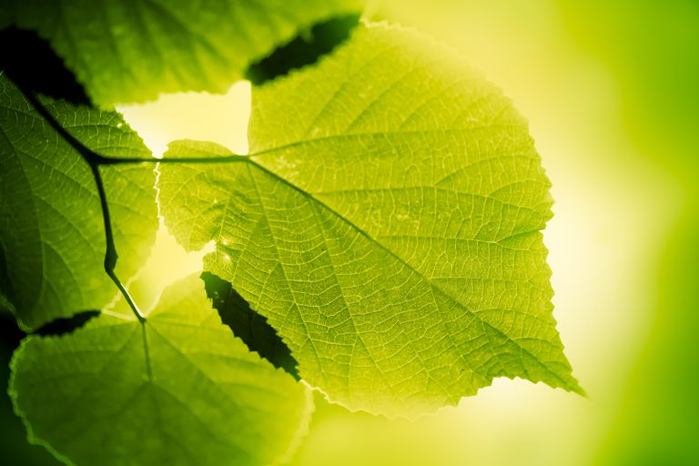 Take this quiz to see if you understand the basic principles of photosynthesis and how it works in plants.