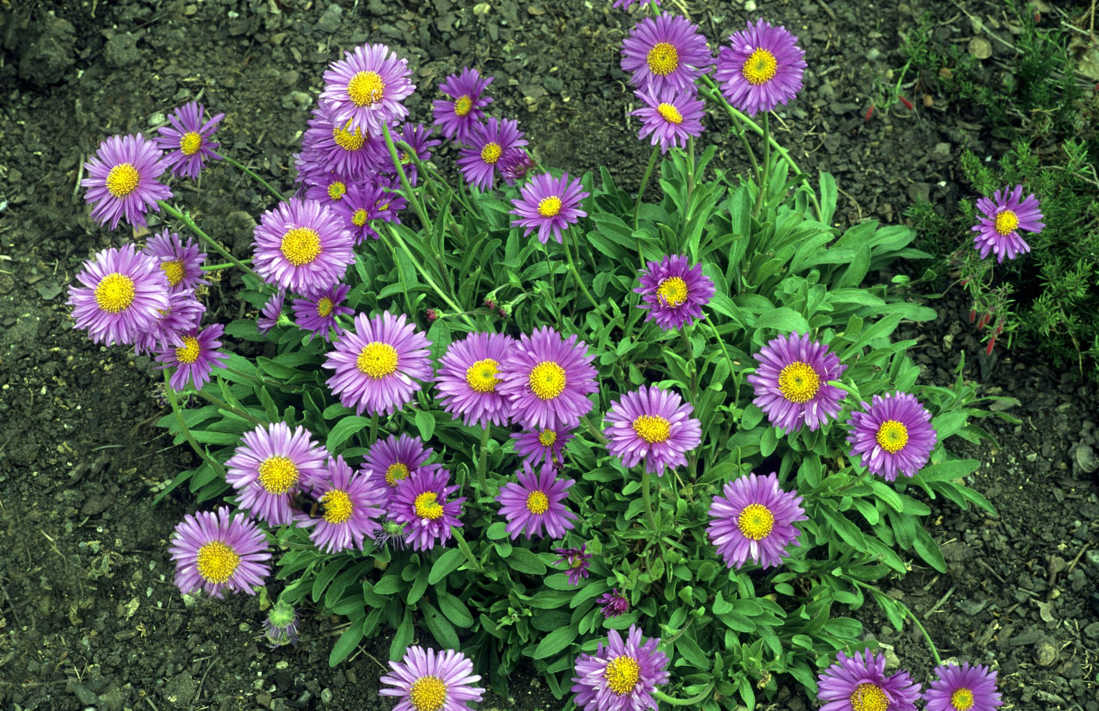 Grow perennial aster flower plants for fall blooms izmirmasajfo Choice Image