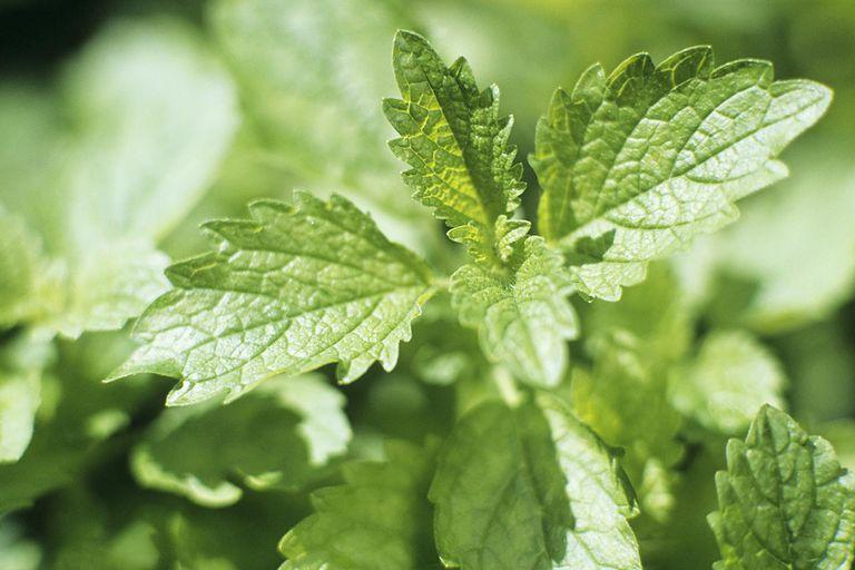 Lemon balm plant, close-up