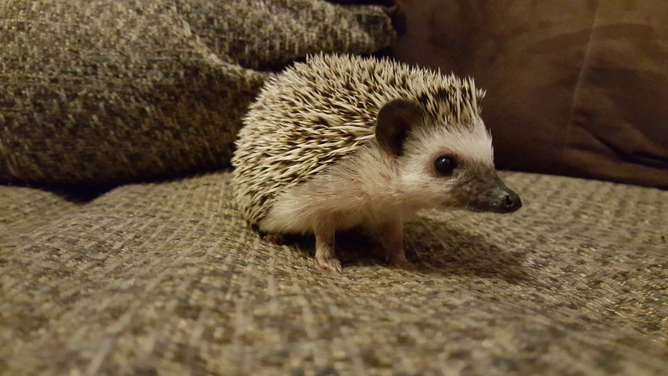 A close-up of a hedgehog indoors