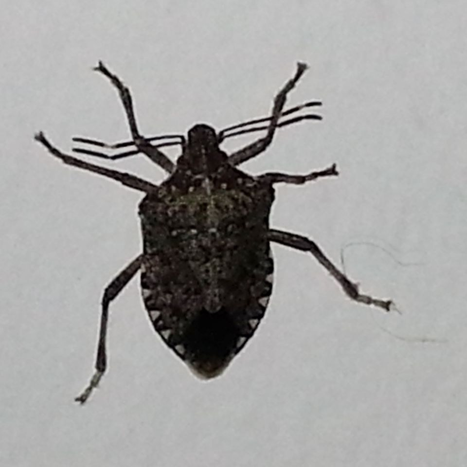 Identify And Control Stink Bugs