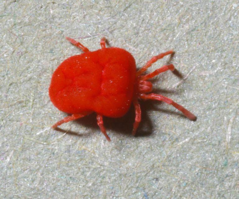 Adult Trombidiidae mite. This stage is predatory on small invertebrates.