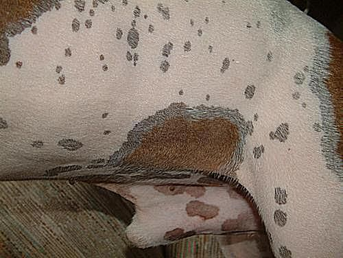 Close-up of dog skin issues