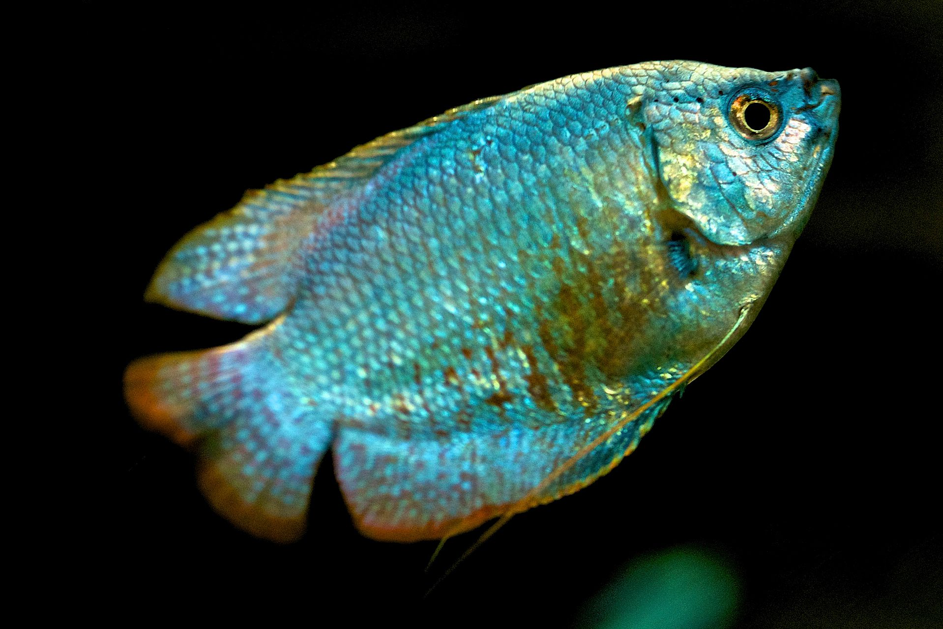 Is Your Gourami Male Or Female-4846