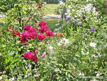 Flowers Traditionally Used Cottage Garden Plants - Cottage garden plants