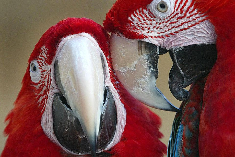 Macaw parrots snuggle at the newly opened Parrot Jungle Island July 23, 2003 in Miami, Florida.