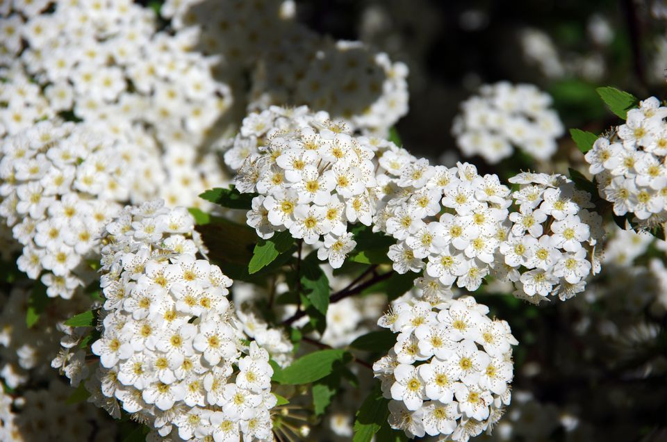 10 best shrubs with white flowers closeup of spirea bush with white flowers that have yellow centers mightylinksfo Gallery