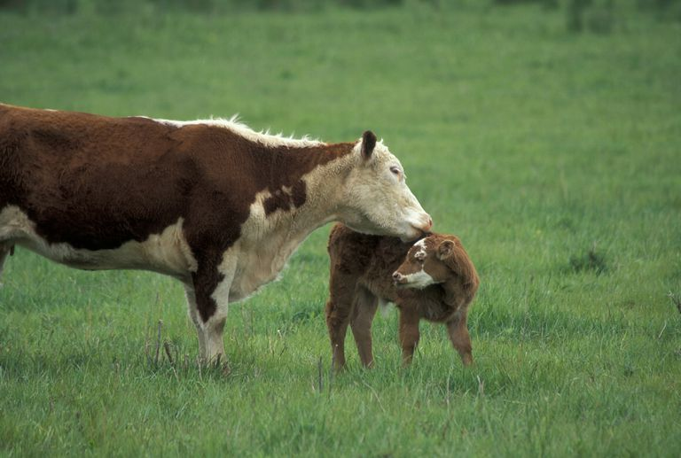 Cow and calf in pasture, Southern Illinois