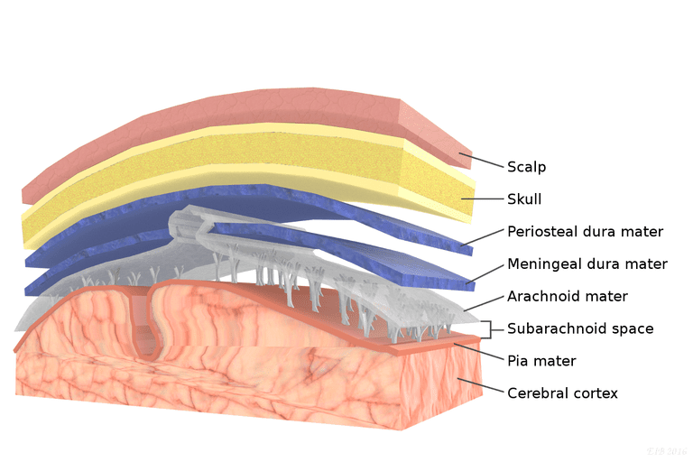 meninges and spinal cord Find out about the spinal cord function what it the meningeal branch reenters the vertebral canal and innervates the meninges, vertebrae, and spinal ligaments.