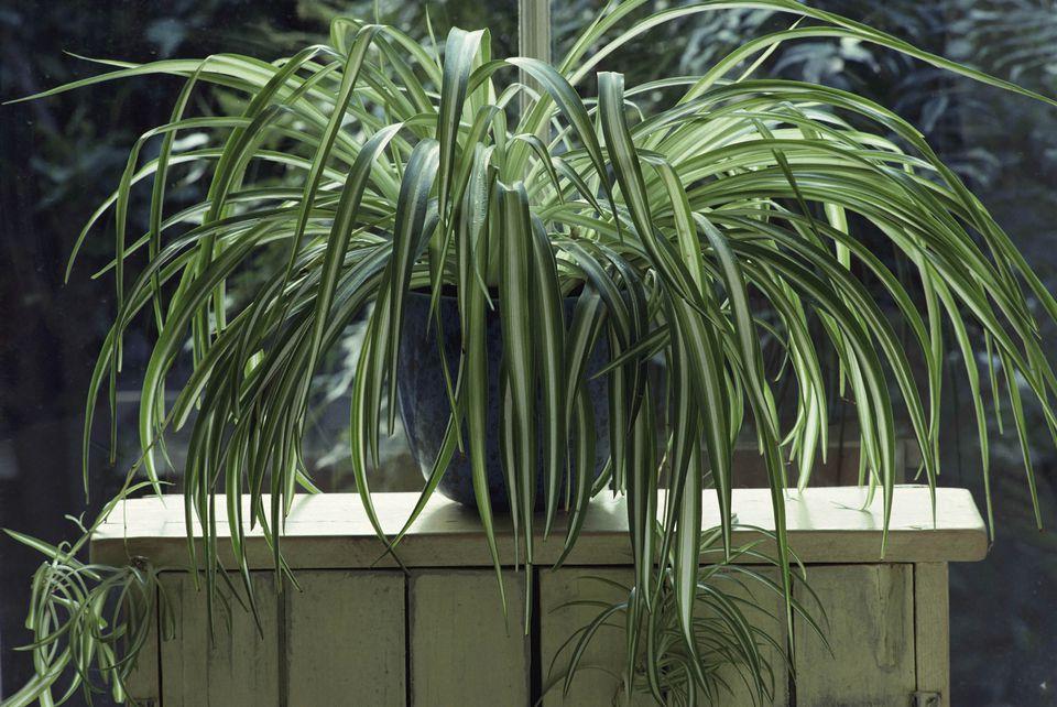 Spider Plant (Chlorophytum homo sum)
