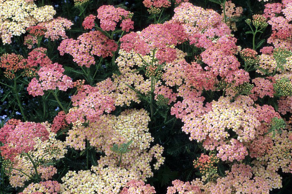 Yarrow Flowers (Achillea)