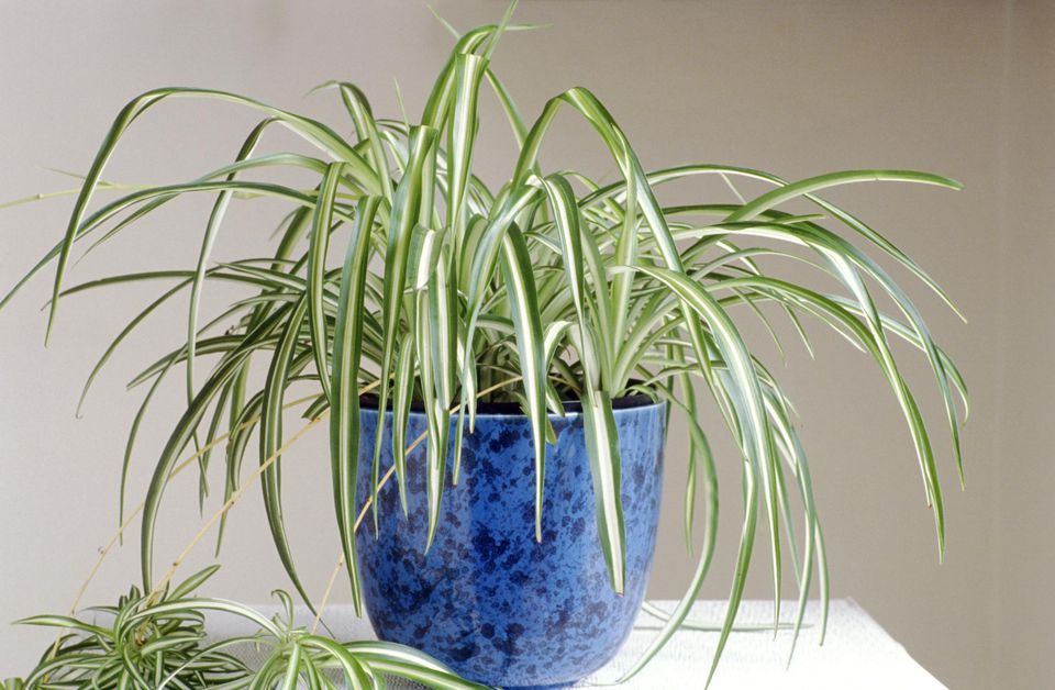 Image result for pretty spider plant