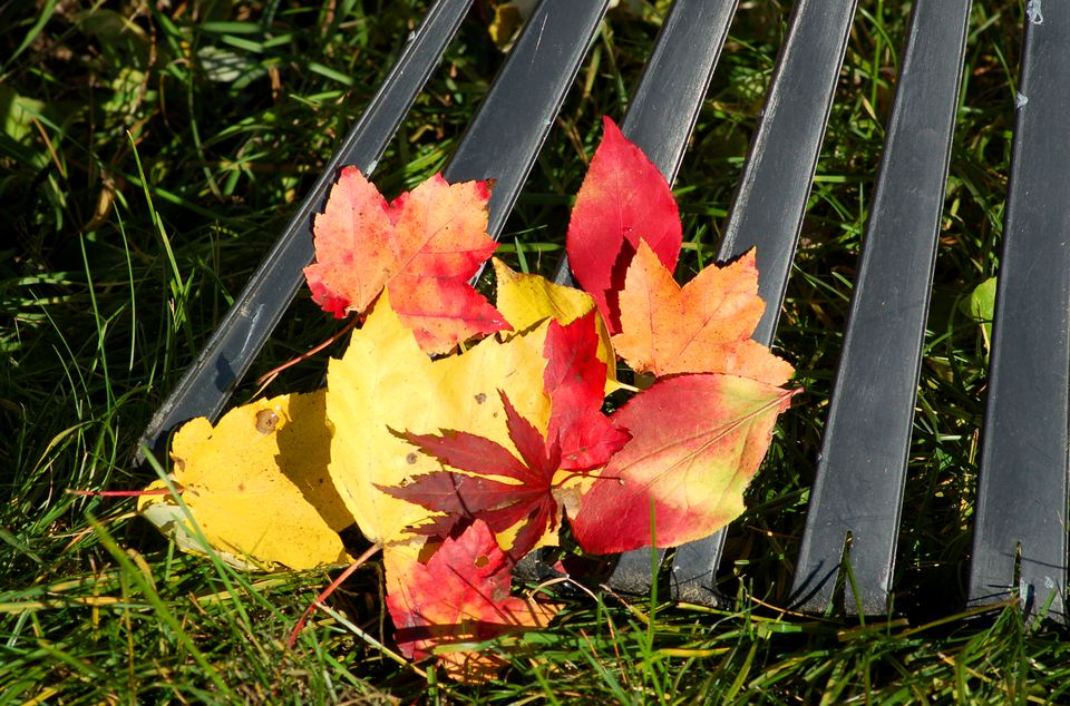 Fall leaves (image) are colorful but I don't like raking them. It's necessary, though.