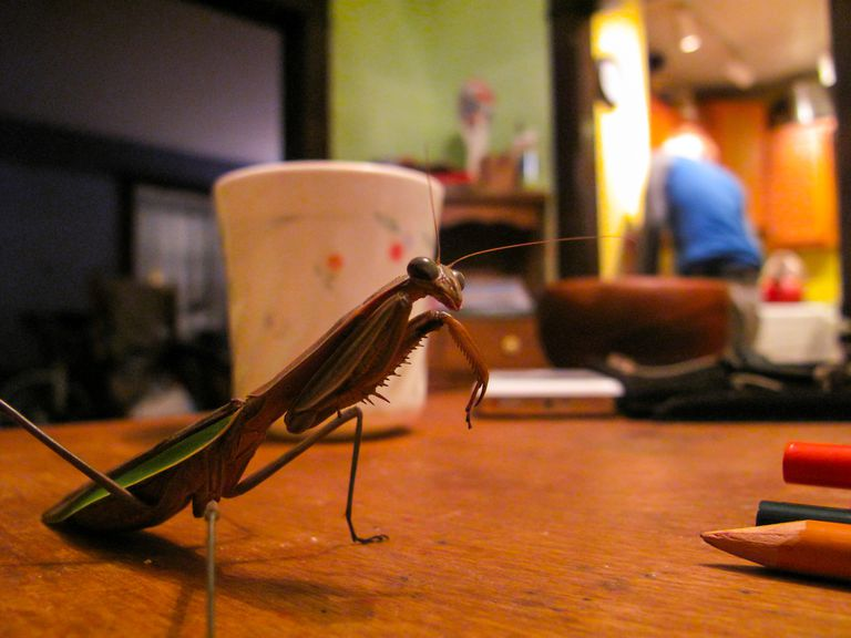 Praying mantis siting on table in home.