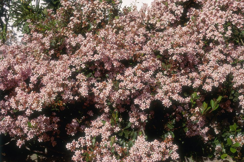 Raphiolepis x delacourii (Hybrid Indian Hawthorn)