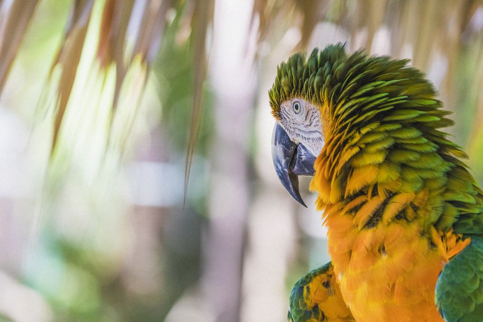 Close-up of a Catalina macaw, also called Rainbow macaw, as seen in the Bahamas.