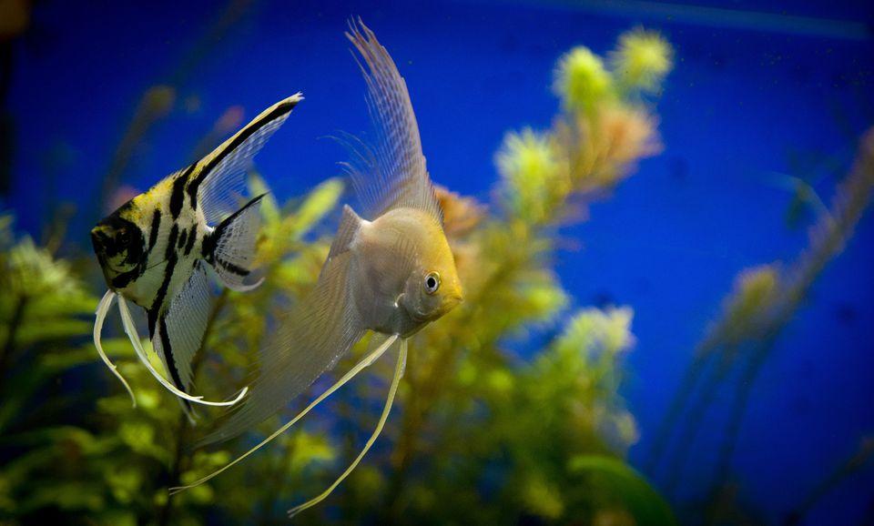 fish tank fish