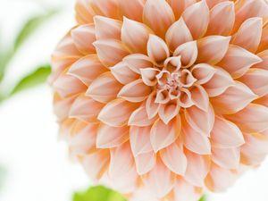 A close-up of a pink Dahlia