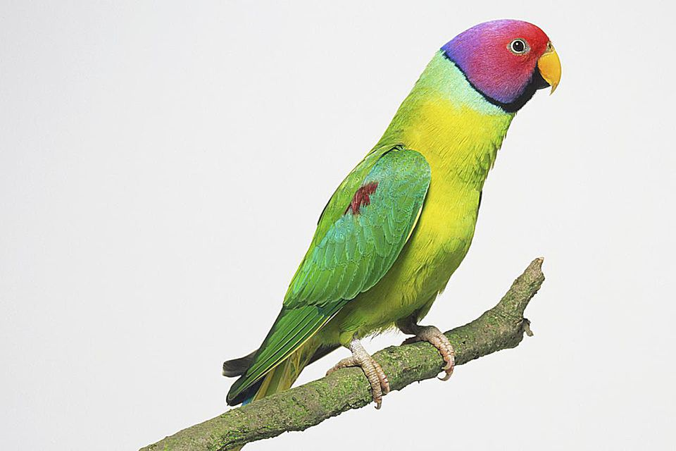 Plum-headed Parakeet (Psittacula cyanocephala) perched on branch, side view