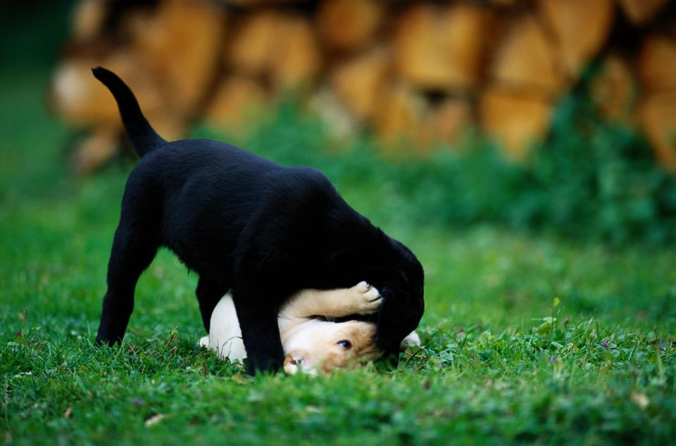 Two Young Labrador Puppies Playing in the Grass