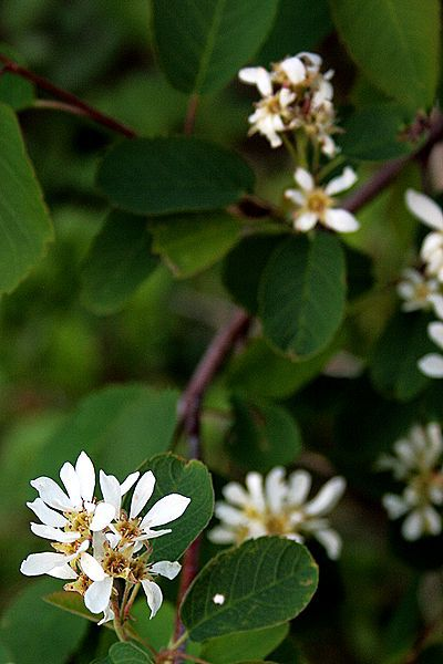 Picture of the round leaved serviceberry