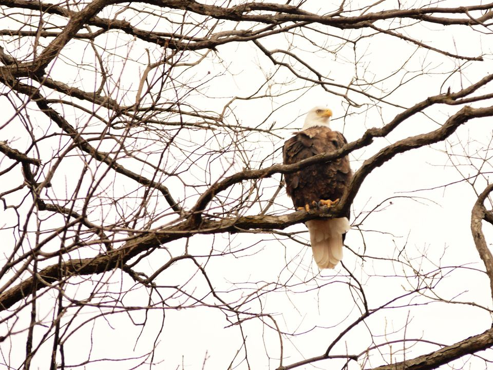 American Bald Eagle perched in tree in winter feeding grounds near Alton, Illinois on bluffs by Mississippi River.
