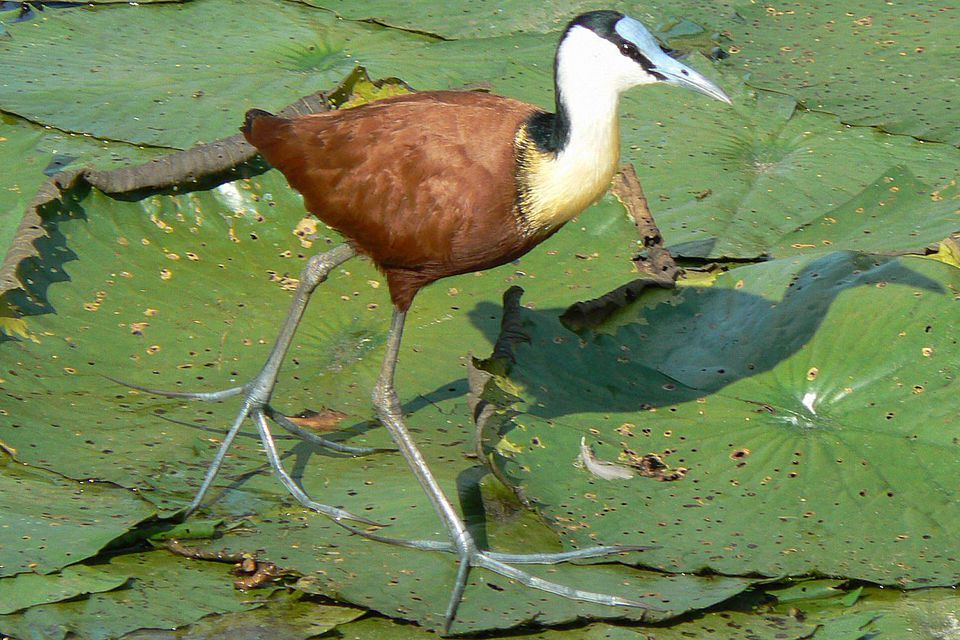 Jacanidae Bird Family Definition Jacanas