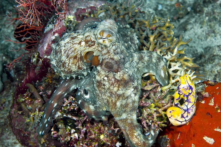 Octopus on Coral, Showing Camouflage Ability