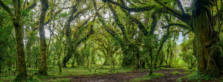 Lush foliage in Harenna Forest, Harenna Escarpment, Bale Mountains National Park, Ethiopia
