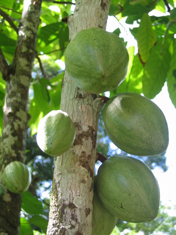 The history of the domestication of chocolate cacao tree theobroma spp brazil sciox Image collections
