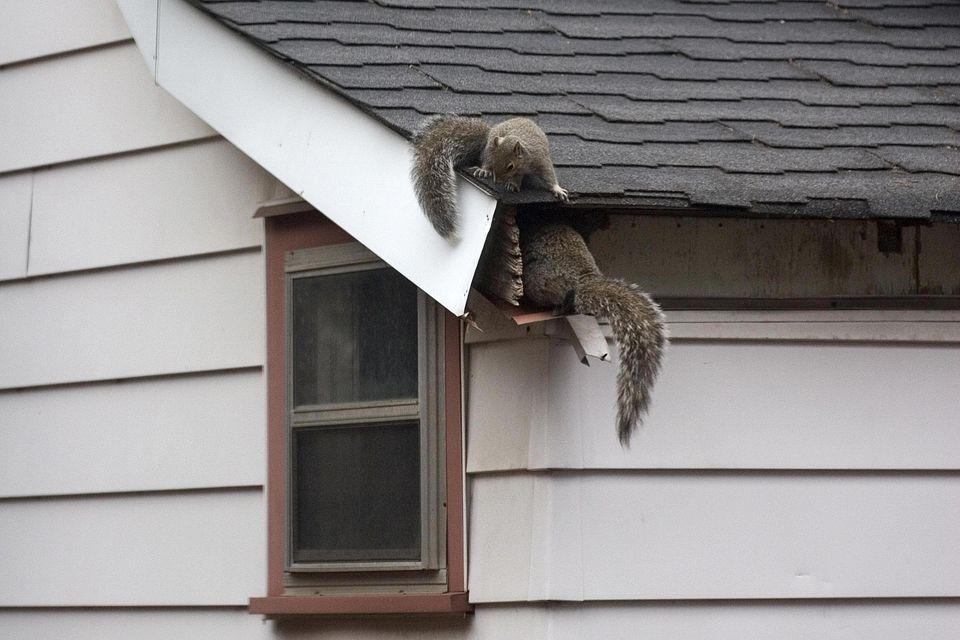Squirrels In Attic
