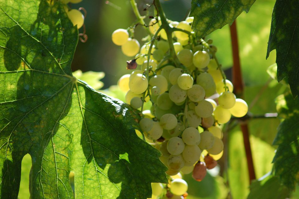 White balsamic vinegar is made from Trebbiano grapes